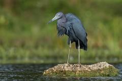 Little Blue Heron (Melis J) Tags: bird florida herons littleblueheron nikon d7200