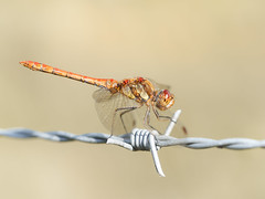 Darter In Good Light (bredma) Tags: dragon dragonfly commondarter male insect wild uk british wildlife nature naturallight macro closeup idlevalley barbed wire olympus em1 60mmmacro