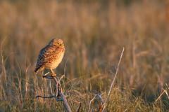 Burrowing Owl (Steve Creek) Tags: bird burrowingowl utah antelopeislandstatepark