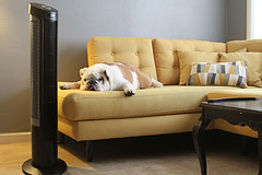 English bulldog on couch next to fan, looking hot (yourbestdigs) Tags: heat dog stroke fan sweating summer weather wave men hot cold warm heavy day temperature environmental male issues climate high extreme water suffer environment heatwave summertime naturepeople