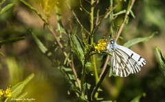 Feeding white butterfly (Photosuze) Tags: butterflies white flowers plants insects bugs pollination flora lepidoptera nature animals wildlife
