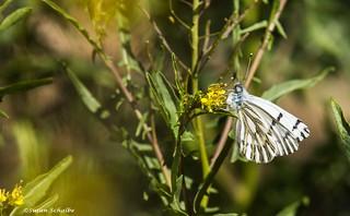 Feeding white butterfly