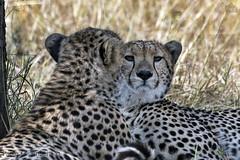 Ghepardi, Cheetahs, Acinonyx jubatus (paolo.gislimberti) Tags: tanzania serengeti africanmammals africanparks parchiafricani mammiferiafricani felini felines carnivori flesheatinganimals predatori predators mimicry mimetismo