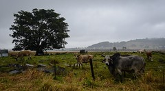 wet day (dustaway) Tags: landscape ruralaustralia cattle ficus tree overcast rain winter monaltrie lismore northernrivers nsw australia australianlandscape