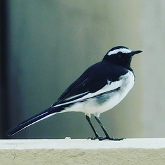 Black&White_IndianBird (aniavi12) Tags: bird birds birdwatching birdlover beautifulbird nikon nikonb500