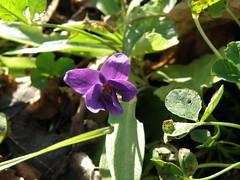 une pensée (sabine-43) Tags: flower fleur viola