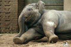 Berliner Zoo 25.01.2015  126 (Fruehlingsstern) Tags: yak tosca polarbear otter zebra elefant katjuscha eisbr sandkatze anchali polarfuchs bartkauz