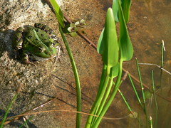 Froschteich (rainer.marx) Tags: leica water lumix frog panasonic teich frosch fz30