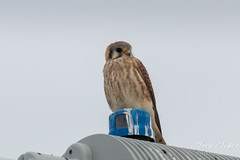 American Kestrel in suburban Denver