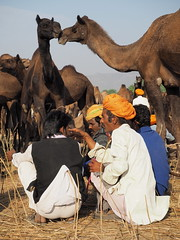 Camel negotiations (DarkLantern) Tags: fair pushkar marigold indien rajasthan saffron inde mela safa trader 2014     marwari pagari