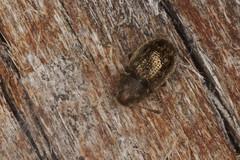 Anobiidae?? (zosterops) Tags: macro australia tasmania tinderbox ringflash coleoptera insecta kenkoextensiontubes anthribidae canonmr14ex canonmacrolensef100mm canoneos550d 2014dectinderbox