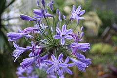 Agapanthus 'praecox' (mikeNZ1.) Tags: gardenwetdec2014