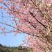 IMG_0154_156 吉野櫻 HDR