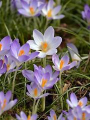 LBG Crocus Sunday 23 (Lostash) Tags: flowers plants nature spring flora seasons leicester crocus leicesterbotanicalgardens crocussunday