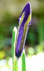In Erwartung - In Wait (GuteFee) Tags: iris blten