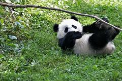 Bao Bao playing with a giant stick. Giant Panda (Ailuropoda melanoleuca) DSC_0431 (ikerekes81) Tags: cute mammal zoo washingtondc dc nationalzoo giantpanda dczoo ailuropodamelanoleuca smithsoniannationalzoologicalpark washingtondczoo cutepanda