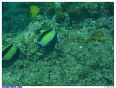 Philippines - Batangas - San Luis (olivierzeworld) Tags: voyage mer san novembre philippines snorkeling luis batangas tuba poisson palme masque maure 2014 idole expatriation