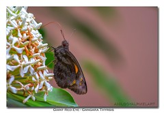 Giant red eye (AnilGoyal Pixelart) Tags: plants india plant flower nature composition canon butterfly photography indian picture pic kerala kochi floraandfauna ixora hesperiidae indianbutterflies giantredeye gangarathyrsis pachlioptahector anilgoyalpixelart giantredeyebutterfly