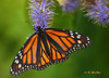 A Royal Repast 1 - Vancouver, British Columbia (Barra1man (Back From Vacation)) Tags: orange canada black macro nature vancouver butterfly garden insect flying feeding iso400 britishcolumbia monarch vandusengardens monarchbutterfly flyinginsect repast olympuse620 f561800 lens2770mm