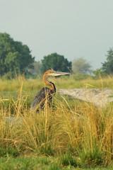 Heron goliath, Chobe river (Dijor) Tags: photo wildlife safari botswana wilderness moremi okavango afrique faune naturaliste savane ornithologie essentielbotswana