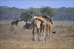 "Two male Rothschild giraffes in Lake Nakuru National Park in Kenya, East Africa engaged in ""necking"" which is used to establish dominance (diana_robinson) Tags: kenya nakuru dominance eastafrica necking lakenakuru lakenakurunationalpark rothschildgiraffe establishdominance twomalegiraffes"
