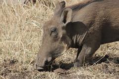 Warthog Feeding