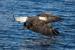 American Bald Eagle Fishing, LeClaire, Iowa [7667] (cl.lin) Tags: nature fishing nikon eagle wildlife iowa mississippiriver americanbaldeagle leclaire lockdam14 ld14 lockanddamno14