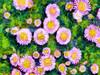 Pink 18/365 (petervanallen) Tags: pink flowers sketch 365 procreate ipad 18365 autopainter