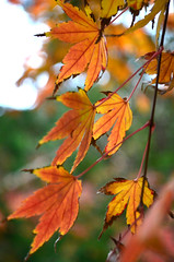 Autumn acer (grannie annie taggs) Tags: autumn macro nature leaves japan acer