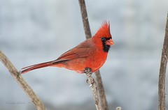 Who is that masked man? (Carolyn Lehrke) Tags: winter usa birds cardinal wv westvirginia perched masked redbird blackmask greenbriercounty fairlea carolynlehrke
