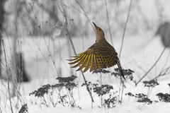 Launch! (brucetopher) Tags: snow cold bird birds yellow landscape fly flying wind capecod massachusetts wing 7d brewster launch frigid flicker snowscape winterlandscape winterscene northernflicker canon7d massachusettsbirds newenglandbirds capecodbirds brucetopher coldwinterlandscape