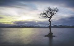 The Milarrochy Tree (Geordie1970) Tags: longexposure nikon lochlomond lonetree balmaha lochlomondandthetrossachs leefilters nikonphotography milarrochybay milarrochy milarrochytree nikon1024mm leebigstopper nikond7100 geordie1970