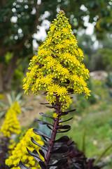 aeonium arboreum (jmhull.LA) Tags: flowers southcoastbotanicgarden aeoniumarboreum