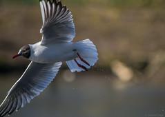 _DSC6259.jpg (S.S82) Tags: statepark park uk greatbritain england nature birds evening inflight unitedkingdom wildlife gull westmidlands solihull blackheadedgull 2015 tudorgrangepark randomclicks ss82
