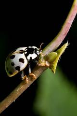 Darth Vader Bug (Tworedheads01) Tags: blackandwhite plant nature wisconsin canon bug woods legs beetle tiny darthvader northwoods anatislabiculata canon6d fifteenspottedladybeetle
