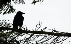 Crow (.Hogan.) Tags: bird birds silhouette scotland nikon birding crow corvid d300 300mmf4 sandyhills