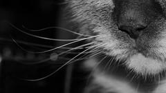 whiskers & bokeh (brescia, italy) (bloodybee) Tags: 365project cat kitten kitty feline animal whiskers nose hair fur bokeh macro bw