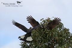 Long-billed (Baudin's) Black Cockatoo (Calyptorhynchus baudinii) (rosscodj) Tags: cockatoo baudin byford western australia wa