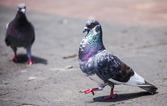 Pigeon in Coyoacan 101 (L Urquiza) Tags: life wild urban mexico pigeon pigeons paloma coyoacan