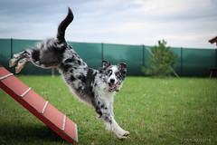 Jayro (Ka Sovov) Tags: dog agility canon 50mm australian sheperd