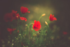 Poppies (cristina.g216) Tags: poppies amapolas verde green red rojo vacaciones campo countryside bokeh