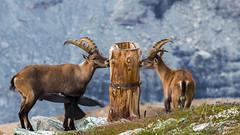 IMG_20140728_C700D_025.jpg (Samoht2014) Tags: gornergrat tiere zermatt2014 zermatt wallis schweiz