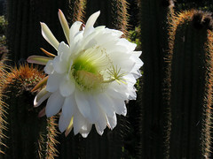 Golden Torch Cereus Cactus (Bennilover, off for a week, Wild Things coming!) Tags: lososos california cacti cactus blossoms flowers cactusblossom goldentorchcereus huge tall white flower coast coastal sandy soil fog