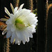 Golden Torch Cereus Cactus
