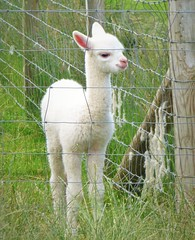 Young Alpaca Fenced in..x (lisa@lethen) Tags: baby alpaca fence wire pretty fenced youngster