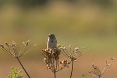 Lucy (Dex Horton Photography) Tags: lbb ladner bc canada bird wildlife grasslands lucy boundarybay mudbay