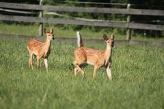 IMG_9213 (thinktank8326) Tags: nature wildlife deer spots fawn whitetaileddeer babyanimal