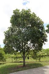 Artocarpus heterophyllus (Jackfruit) (TreeWorld Wholesale) Tags: artocarpus heterophyllus jackfruit