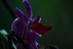 Queen of the Night (Nathalie_Dsire) Tags: orchid pink red night darkness greenbackground nature macro closeup evening flower plant