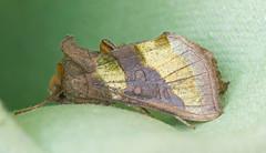 Burnished Brass f aurea (mishko2007) Tags: ireland 105mmf28 diachrysiachrysitis burnishedbrass
